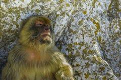 barbary gibraltar macaque Fotografering för Bildbyråer