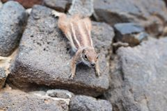 Barbary ground quirrel on stone wall Stock Photos