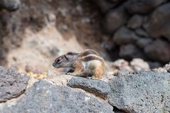 Barbary ground quirrel on stone wall Royalty Free Stock Photo
