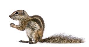 Barbary Ground Squirrel (Atlantoxerus getulus) Royalty Free Stock Photo