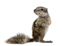 Barbary Ground Squirrel (Atlantoxerus getulus) Royalty Free Stock Photo