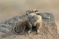 Barbary ground squirrel, Atlantoxerus getulus Royalty Free Stock Photos