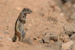 Barbary Ground Squirrel - Atlantoxerus getulus Stock Photography