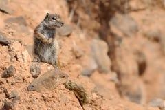 Barbary Ground Squirrel - Atlantoxerus getulus Royalty Free Stock Photos