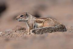 Barbary Ground Squirrel - Atlantoxerus getulus Stock Image