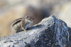 Barbary ground squirrel (atlantoxerus getulus) Stock Photography