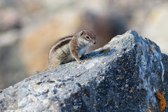 Barbary ground squirrel (atlantoxerus getulus) Royalty Free Stock Image