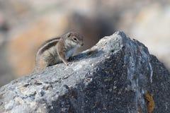 Barbary ground squirrel (atlantoxerus getulus) Stock Photo