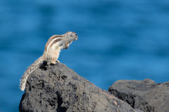 Barbary ground squirrel atlantoxerus getulus Royalty Free Stock Photography