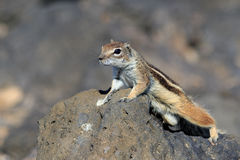 Barbary ground squirrel atlantoxerus getulus Royalty Free Stock Images