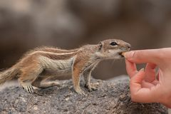 Barbary ground squirrel eating from the hand atlantoxerus getulus, Fuerteventura, Canary Islands royalty free stock images
