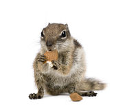 Barbary Ground Squirrel eating nuts. Atlantoxerus getulus, against white background, studio shot stock photography