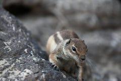 Barbary ground squirrel Stock Photo
