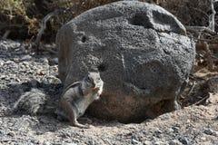 Barbary ground squirrel Stock Photos