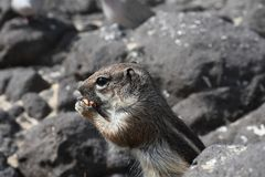 Barbary ground squirrel Royalty Free Stock Photography