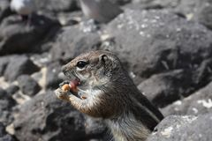 Barbary ground squirrel Stock Images