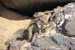 Barbary ground squirrel, Fuerteventura, Canary Islands. Stock Photography