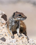 Barbary ground squirrel in Fuerteventura island. Stock Images