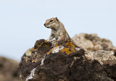 Barbary Ground Squirrel in Fuerteventura, Spain stock photo