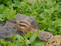 A Barbary ground squirrel with a long beautiful tail Royalty Free Stock Photo