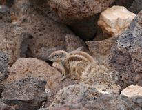 A Barbary ground squirrel with a long beautiful tail Stock Images