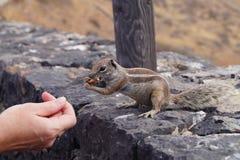 Atlantoxerus getulus - Barbary ground squirrel stock photo