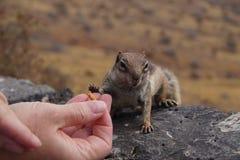 Atlantoxerus getulus - Barbary ground squirrel stock photography