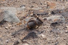 Atlantoxerus getulus - Barbary ground squirrel Royalty Free Stock Images