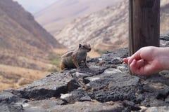 Atlantoxerus getulus - Barbary ground squirrel royalty free stock photo