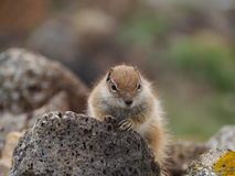 Barbary ground squirrel on the Spanish island Fuerteventura Royalty Free Stock Images