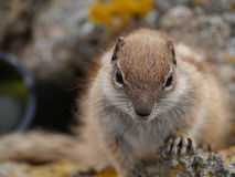 Barbary ground squirrel on the Spanish island Fuerteventura Royalty Free Stock Photo