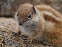 Barbary ground squirrel on the Spanish island Fuerteventura Royalty Free Stock Photography