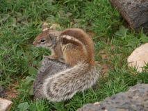 Barbary ground squirrel on the Spanish island Fuerteventura Stock Image