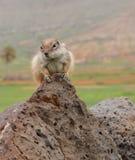 Barbary ground squirrel on the Spanish island Fuerteventura Royalty Free Stock Image