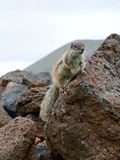 Barbary ground squirrel on the Spanish island Fuerteventura Royalty Free Stock Image