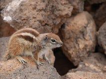 Barbary ground squirrel on the Spanish island Fuerteventura Stock Photos