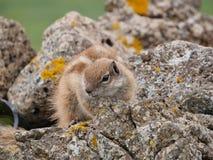 Barbary ground squirrel on the Spanish island Fuerteventura Stock Photo