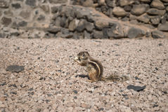 Barbary ground squirrel Royalty Free Stock Image