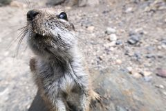 Barbary ground squirrel stretching out towards camera Royalty Free Stock Image