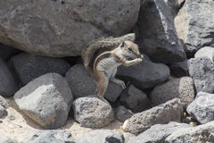 Barbary ground squirrel Stock Photos