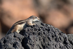 Barbary ground squirrel (atlantoxerus getulus) Royalty Free Stock Photography