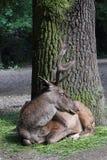 Barbary jeleń Zdjęcia Royalty Free
