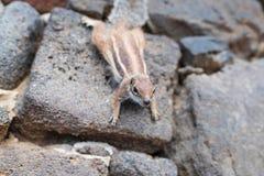 Barbary jordquirrel på stenväggen Arkivfoton