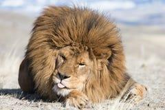 Barbary-Löwe auf windswept Hügel Stockfotos
