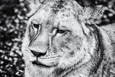Barbary-Löwinporträt - Panthera Löwe Löwe, farblos Lizenzfreie Stockfotos