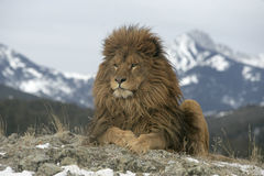 Barbary lejon, Panthera leo leo Royaltyfri Fotografi