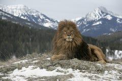 Barbary lejon, Panthera leo leo Royaltyfri Foto