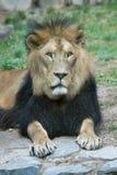 Barbary lew obrazy royalty free