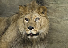 Barbary Lion Royalty Free Stock Photos