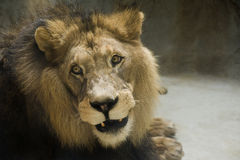 Barbary Lion. Portrait of the adult lion with black mane royalty free stock photo